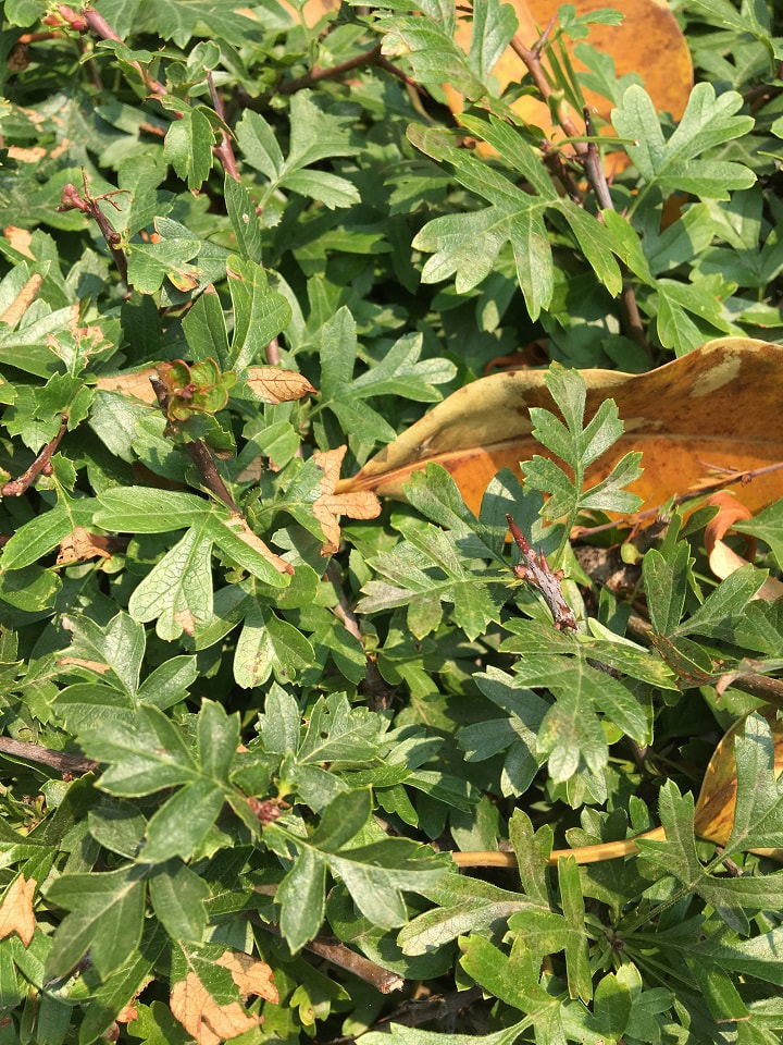 leaves in a hawthorn hedge at Captain Cooks Cottage Melbourne