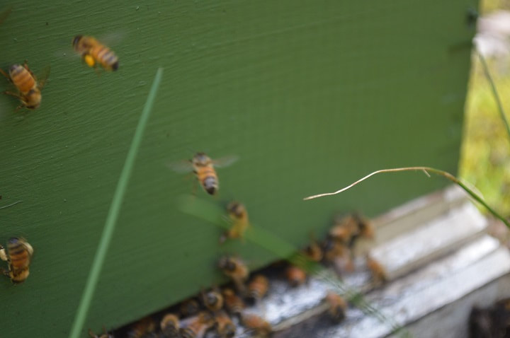 bees entering a green  bee hive