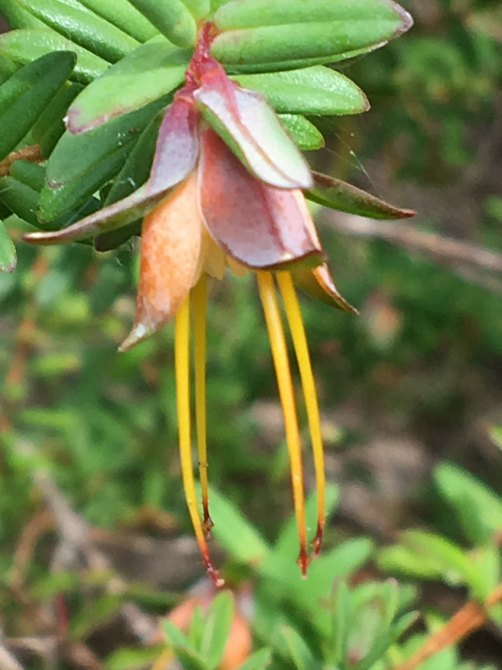 pink and orange petaled flower with four very long stamens poking out and hanging down