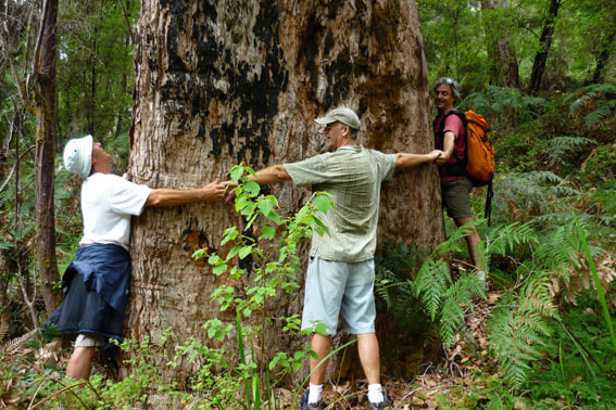 Mighty Marri Tree Pemberton Western Australia