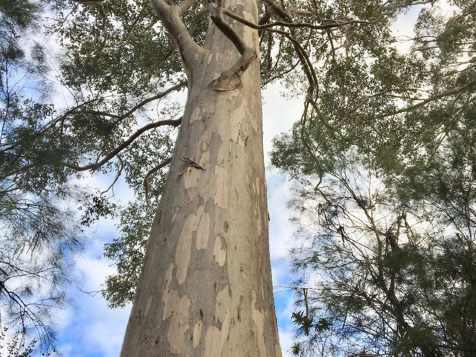 The Karri tree from Western Australia is one of the top ten biggest living things in the world, photo of tree trunk looking up from the  base to sky with leaves