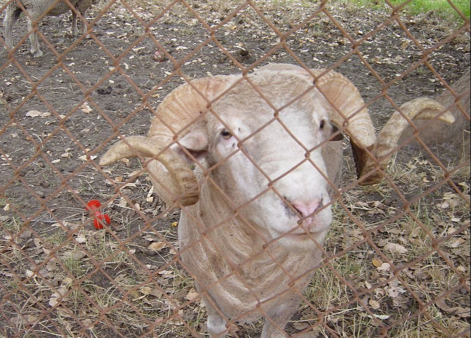 Friendly Ram Looking at me through fence