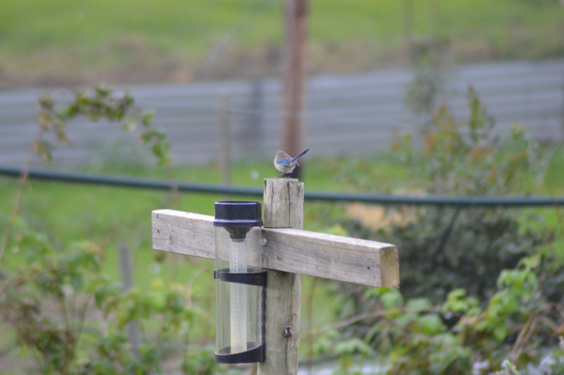 rain gauge with blue fairy wren bird sitting on it