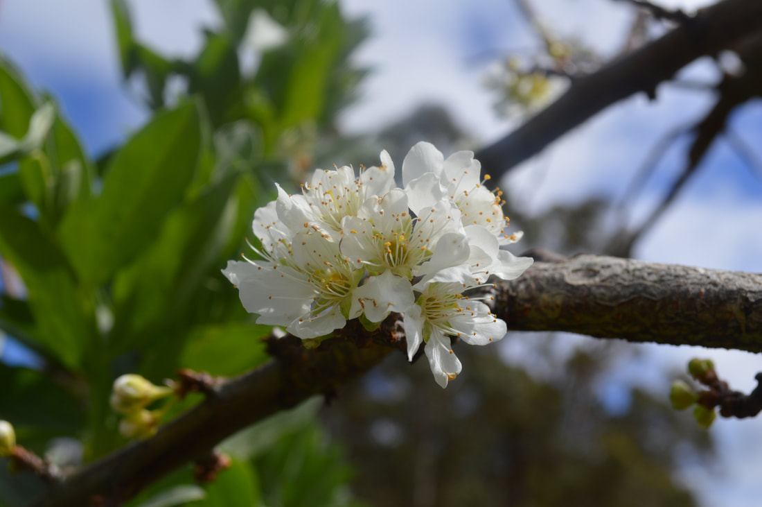 Spring buds on apricot tree elixir honey