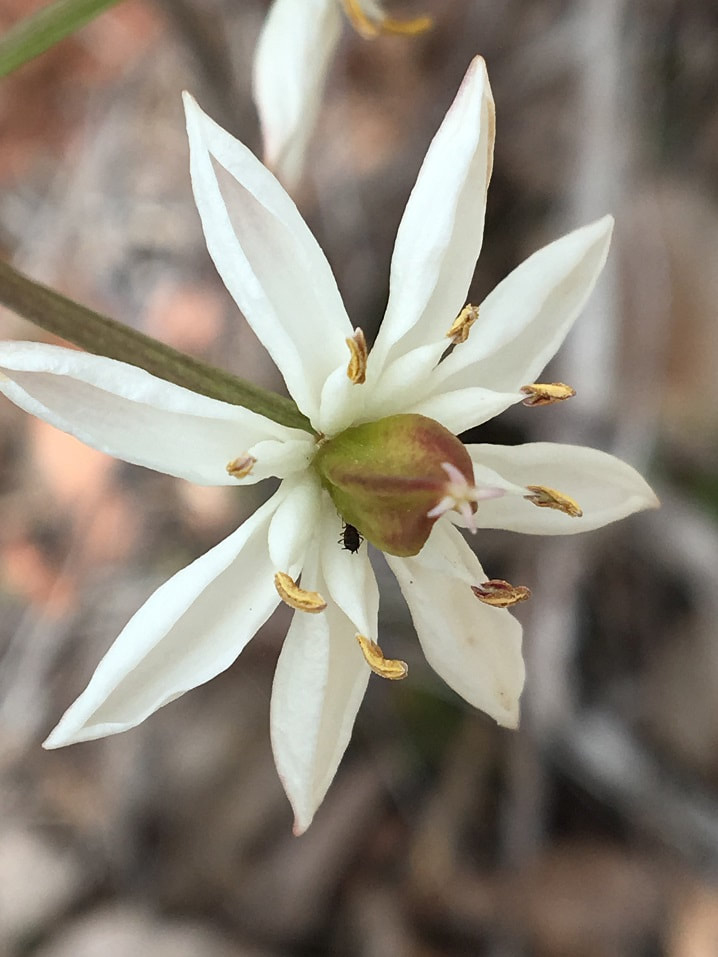 very pretty white wild flower from Western Australia with a black bug bottom poking out of the centre